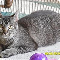 Domestic Shorthair Cat for adoption in Houston, Texas - Cat VonD