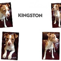 Jack Russell Terrier Mix Dog for adoption in Plano, Texas - KINGSTON
