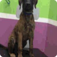 Adopt A Pet :: Duke - Fort Collins, CO