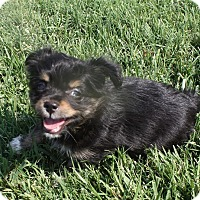 Adopt A Pet :: Moe - Henderson, NV