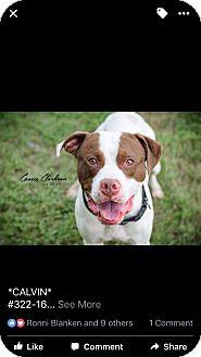 American Pit Bull Terrier/Boxer Mix Dog for adoption in Zanesville, Ohio - Calvin - Urgent!
