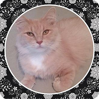 Domestic Mediumhair Cat for adoption in Cedar Springs, Michigan - Sugar