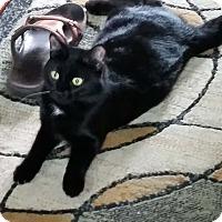 Adopt A Pet :: Cheyenne - Lombard, IL