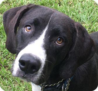 Hound (Unknown Type)/Labrador Retriever Mix Dog for adoption in Orlando, Florida - Shakespeare