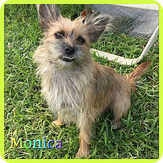 Cairn Terrier Mix Dog for adoption in Hollywood, Florida - Monica