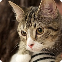 American Bobtail Kitten for adoption in Nashville, Tennessee - Arrow