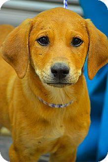 Golden Retriever Mix Puppy for adoption in New York, New York - Dexter