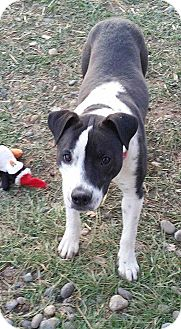 Boston Terrier/Boxer Mix Dog for adoption in Billings, Montana - Petal