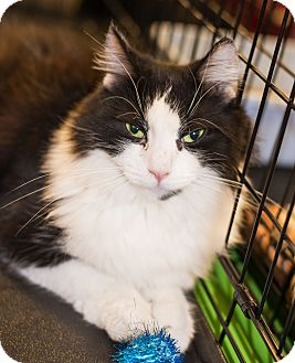 Domestic Longhair Kitten for adoption in Mooresville, North Carolina - A..  Trinity