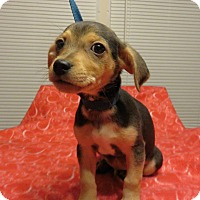 Adopt A Pet :: Jaz - Allentown, PA
