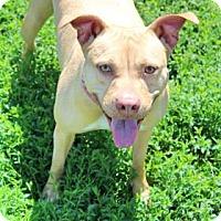 Adopt A Pet :: Amber - Spring City, PA