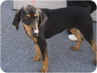 Black and Tan Coonhound Mix Dog for adoption in Harrisburgh, Pennsylvania - Stanley