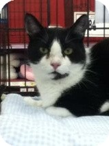 Domestic Shorthair Cat for adoption in Riverside, Rhode Island - Winston