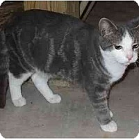 Domestic Shorthair Cat for adoption in Watsontown, Pennsylvania - Grady