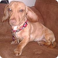 Adopt A Pet :: Gator - TX - Jacobus, PA