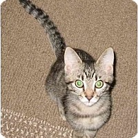 Adopt A Pet :: Kelly kitten- Luvbug - Cincinnati, OH
