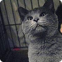Adopt A Pet :: Cirrus - St. Louis, MO