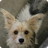 Adopt A Pet :: Pollyana - Phoenix, AZ