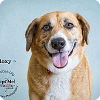 Adopt A Pet :: Roxy - Phoenix, AZ