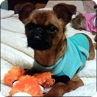 HANNAH - ADOPTION PENDING   Adopted Puppy   Nauvoo, IL ... Adopt A Brussels Griffon Puppy