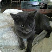 Adopt A Pet :: Gremlin - San Ramon, CA