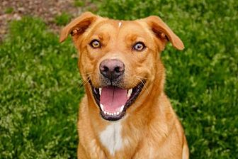 Labrador Retriever Dog for adoption in Rossville, Tennessee - Hershel