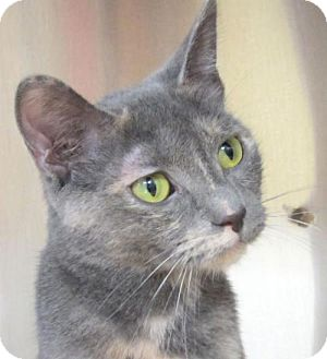 Domestic Shorthair Cat for adoption in Jefferson, Wisconsin - Luna - Adoption Fee Paid!