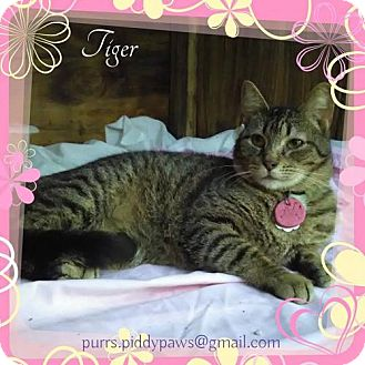Domestic Shorthair Cat for adoption in Fort Worth, Texas - Tiger