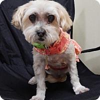 Adopt A Pet :: Chynna - Studio City, CA