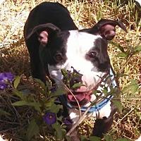 Adopt A Pet :: Cordelia - Incline Village, NV