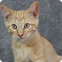Domestic Shorthair Cat for adoption in Raleigh, North Carolina - Garfield B