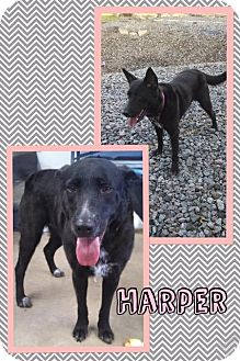Chesapeake Bay Retriever/Australian Cattle Dog Mix Dog for adoption in Mauston, Wisconsin - Harper