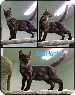 Domestic Shorthair Cat for adoption in California City, California - Sherlock
