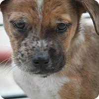 Adopt A Pet :: Howler - Hudson, NH