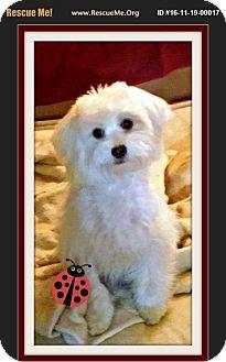 Maltese Puppy for adoption in Murrieta, California - Jimi