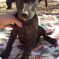 Labrador Retriever Mix Puppy for adoption in Allentown, Pennsylvania - Abilene