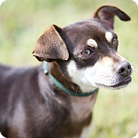 Adopt A Pet :: Herschel - Seattle, WA