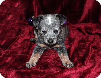 Australian Cattle Dog Mix Puppy for adoption in West Milford, New Jersey - ODIN