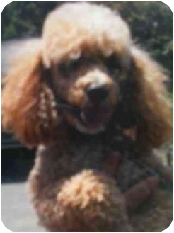 Poodle (Miniature) Dog for adoption in Kingsburg, California - Harley