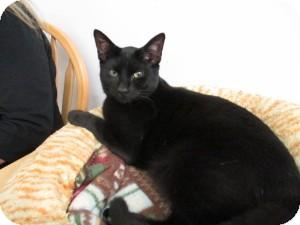 Domestic Shorthair Cat for adoption in Island Park, New York - Pepper