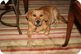 "Beagle/Labrador Retriever Mix Dog for adoption in Richmond, Virginia - Molly ""COURTESY POSTING"""
