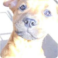 Adopt A Pet :: Cindy - dewey, AZ