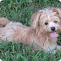 Adopt A Pet :: *Lexi - PENDING - Westport, CT