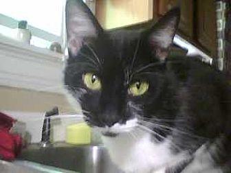Domestic Mediumhair Cat for adoption in Cincinnati, Ohio - Kit Kat