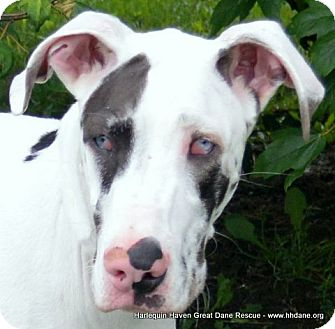 Great Dane Dog for adoption in Bethel, Ohio - Fia