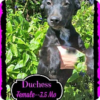 Adopt A Pet :: Duchess meet me 11/14 - Manchester, CT