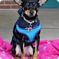 Adopt A Pet :: Ivy (Mitsy) - Catharpin, VA