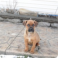 Adopt A Pet :: 2 male shep/lab mixes - mooresville, IN