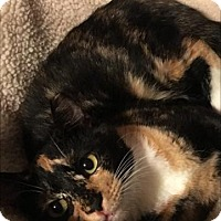 Domestic Shorthair Cat for adoption in Hammond, Louisiana - Brandy