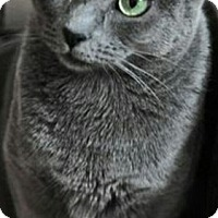 Adopt A Pet :: Bleu-RUSSIAN BLUE MIX - Naperville, IL
